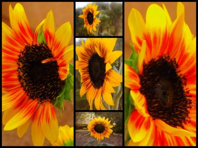 Sunflower Montage