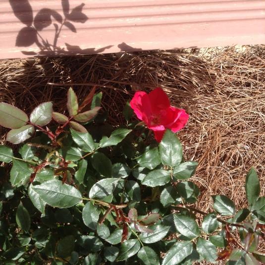 Rose-002
